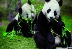 【云端九寨】純玩成都、九寨溝、黃龍、熊貓樂園雙飛六天