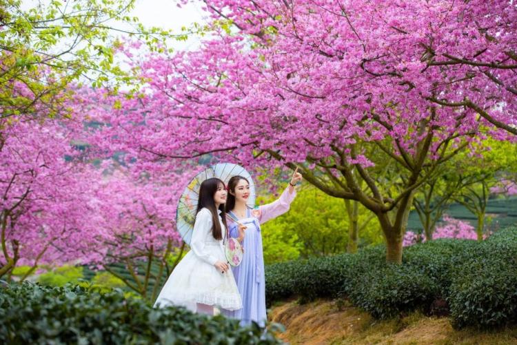 【中國最美櫻花圣地】福建永福櫻花園、華安土樓兩天攝影活動